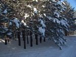 snow on trees planted by students Kathio