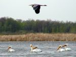 blue heron flying over pelicans