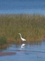 egret on Mille Lacs Lake